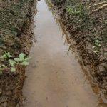 ねぎ畑にオタマジャクシが住み着いています